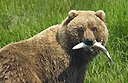 Alaskan travel and encounters with bears