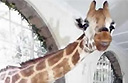 Giraffe Manor: the Kenyan hotel overrun by giraffes