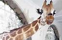 Giraffe Manor: the Kenyan hotel overrun by giraffes