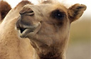A beauty contest where losers get the hump