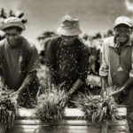 Photograph of the week: Rice farmers at work