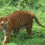 3 top tips for spotting the Bengal tiger in Ranthambhore, India