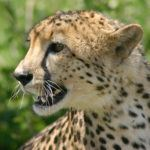 5 of the best places to see big cats