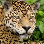 In search of the jaguar in Brazil