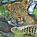 Photograph of the week: Leopard in the Maasai Mara