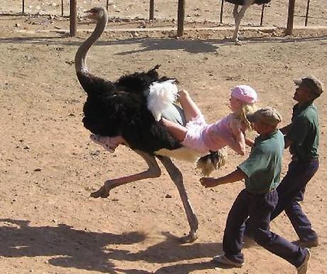 Ostrich ride