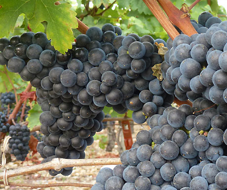 Bordeaux grapes