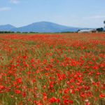 Photograph of the week: Poppies in Provence