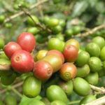Nicaragua launches new Coffee Trail