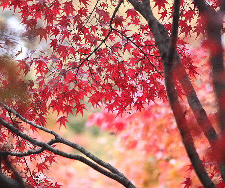 Japanese red maple in Kyoto