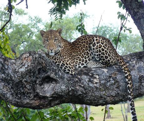 Leopard at Chinzombo