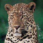Top 5 places to see leopard
