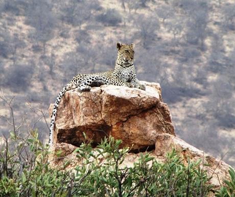 Leopard at Saruni Samburu