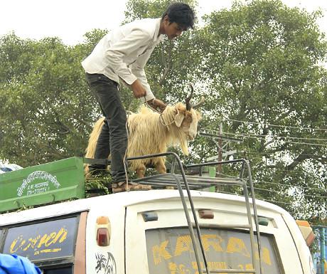 Goat on a van