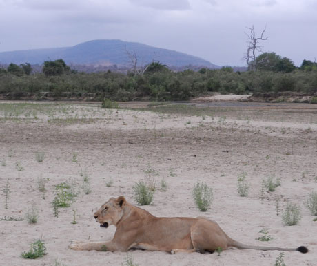 Sand Rivers Selous lion