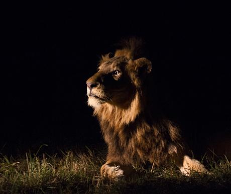 Startled lion