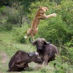 Lion flipped five metres into the air by a buffalo!