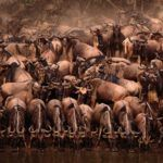 Photograph of the week: Africa's great wildebeest migration