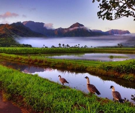 Nene geese in Hawaii