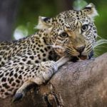 5 reasons why the South Luangwa is the best safari destination
