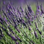 Another New Zealand hidden secret: Kaikoura Lavender Farm