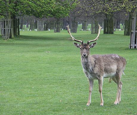 Bushey Park deer