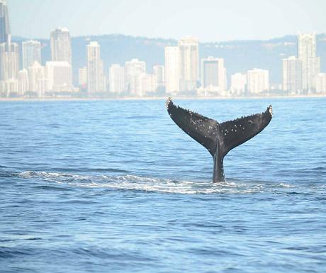 Gold Coast whale
