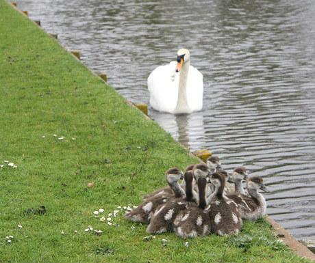 Hampton Court swan