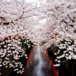 Photograph of the week: Cherry blossom in Japan