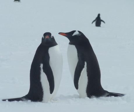 Papua penguins