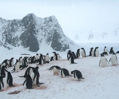 Penguin colony in Petermann Island