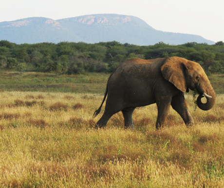 Madikwe elephant