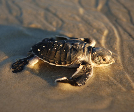 Baby turtle, Vamizi