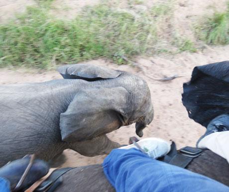 Elephant back safaris