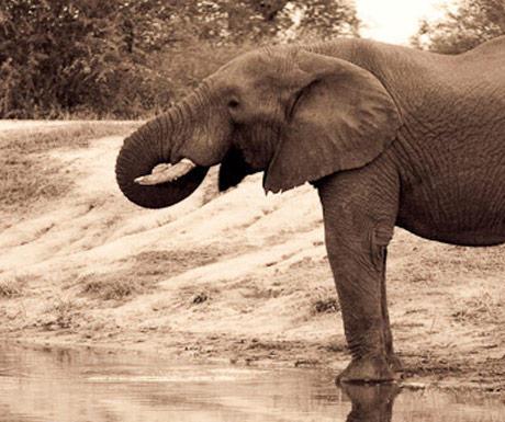 Chitwa Chitwa elephant