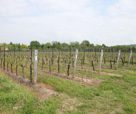 Niagara Icehouse vineyard