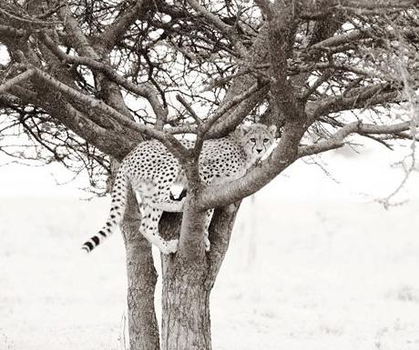Namiri Plains cheetah