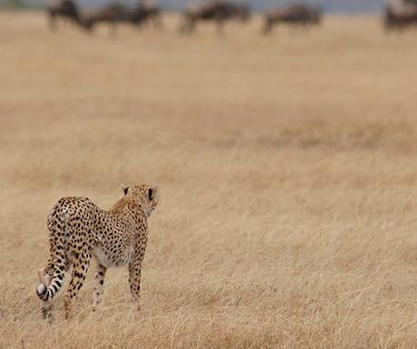 Nomad Tanzania cheetah