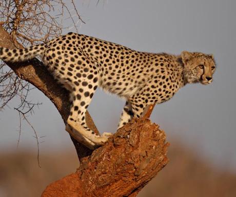 Pamushana cheetah