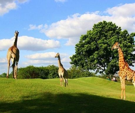Hans Meerensky golf course giraffes
