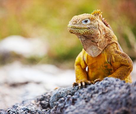 Land iguana, Ecuador