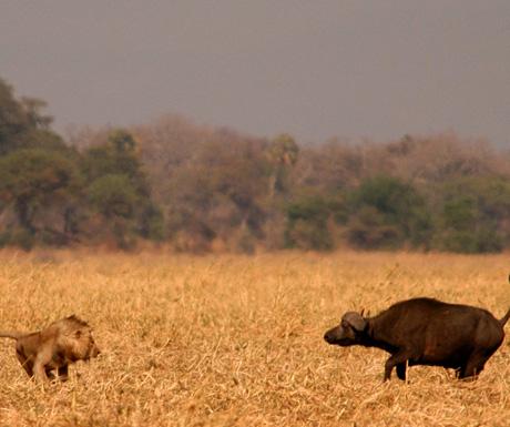 Lion and buffalo in Tanzania