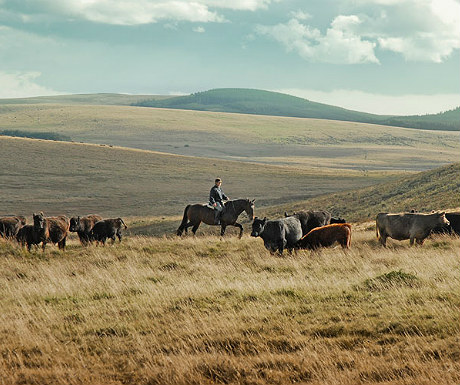 Riding past cattle on Dartmoor