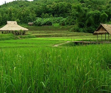 Rice fields in southern Laos