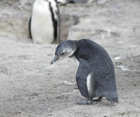 Boulders Beach penguin
