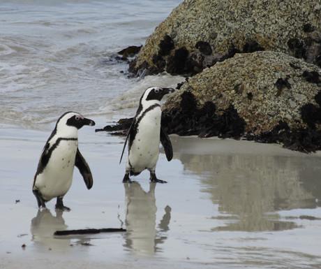 Boulders Beach penguins 2