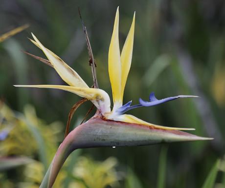 Kirstenbosch Botanical Garden bird of paradise