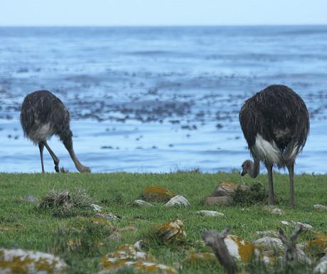 Ostrich on the Cape Peninsula