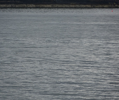 Otter distant