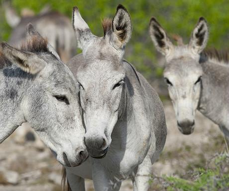 Bonaire donkeys_48503284